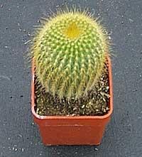 Notokaktus--Notocactus leninghausii K110