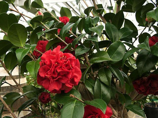 Kamelija-- Camellia red double K311