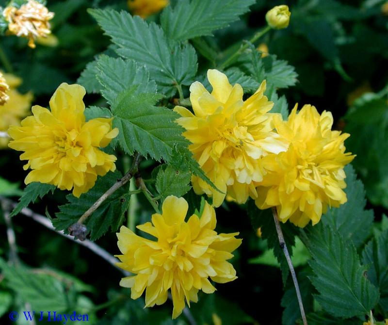 Kerija--Kerria japonica Pleniflora Kerria10