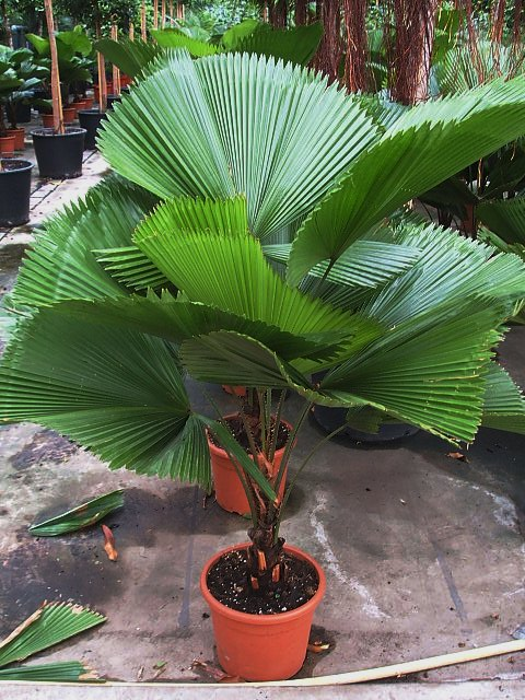 Ukrasna palma--Licuala grandis Licual10