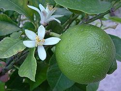 Limeta ---Citrus aurantifolia Limeta10