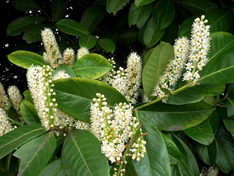 Lovorvišnja--Prunus laurocerasus  Lovor_10