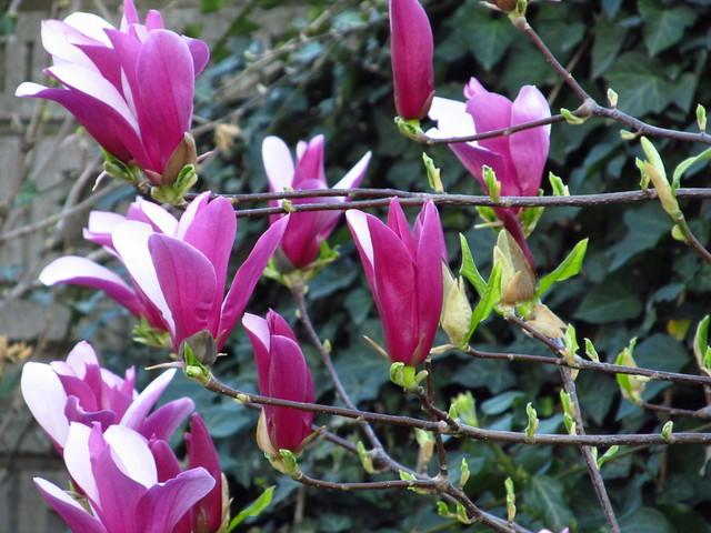 --Magnolia-- M214