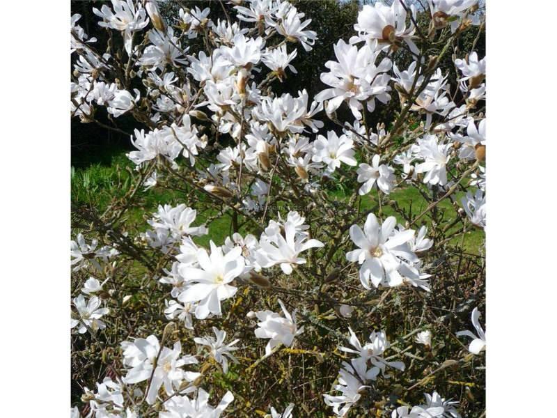 --Magnolia-- M510
