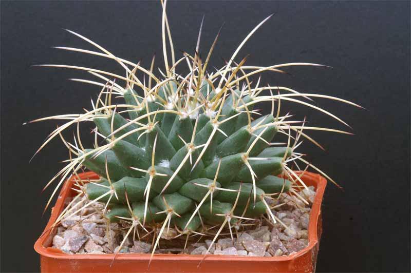 Bradavičasti kaktus--Mammillaria magnimamma Mammil10