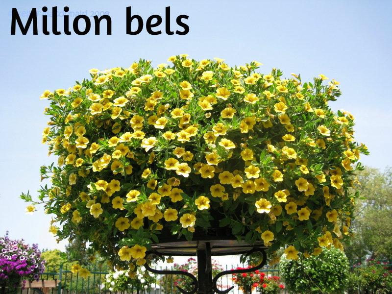 Petunia,surfinija,milion bels Milion10