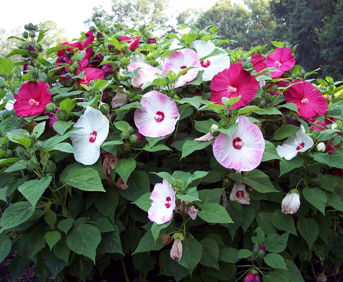 Mocvarni hibiskus (HIBISCUS MOSCHEUTOS) Mocvar10
