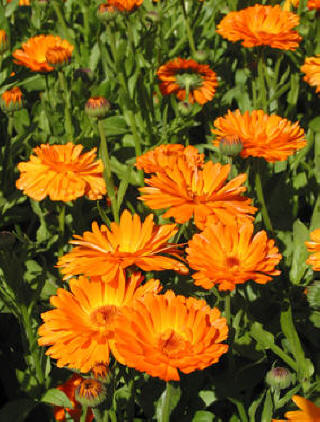 Neven (Calendula officinalis) Neven10