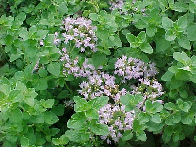 Origano (Origanum vulgare) Oregan10