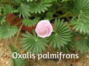 Ukrasne deteline Oxalis11