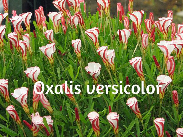 Ukrasne deteline Oxalis12
