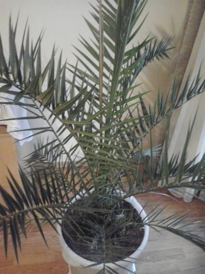 Urmina palma - Phoenix dactylifera Palma14