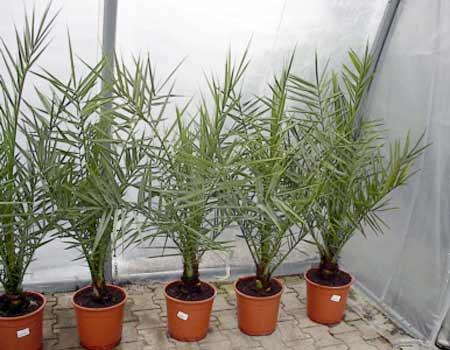 Urmina palma - Phoenix dactylifera Palme_11