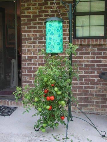 Paradajz--Solanum lycopersicum Parada11
