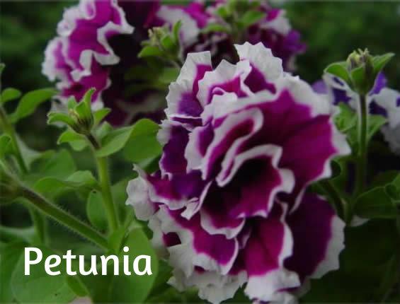 Petunia,surfinija,milion bels Petuni10