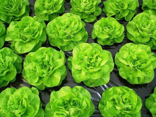 Zelena salata-- Lactuca sativa R111