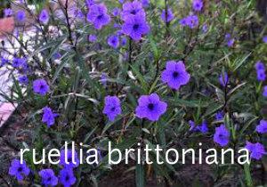 Ruelija--ruellia brittoniana Ruelij10