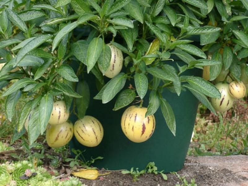 PEPINO--Solanum muricatum S211