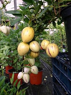 PEPINO--Solanum muricatum S310