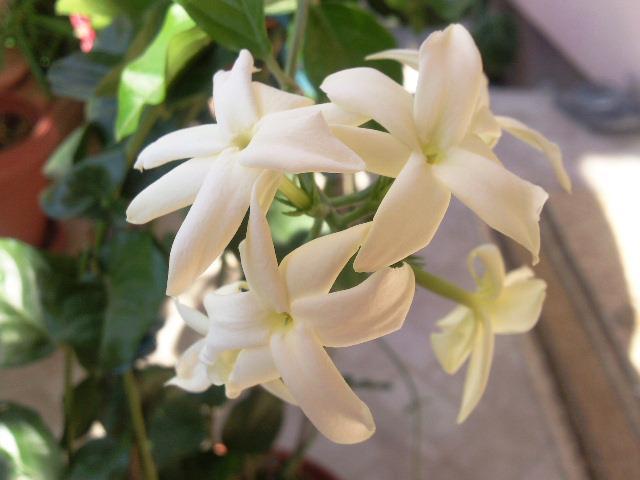 Jasminum sambac Sambac10