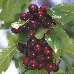 Trešnja--Prunus avium Tresnj10