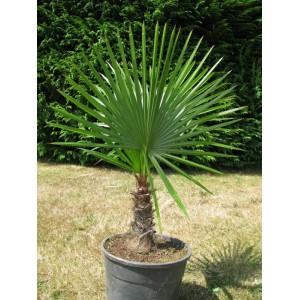 Buriti palma---Trithrinax acanthocoma Trithr10