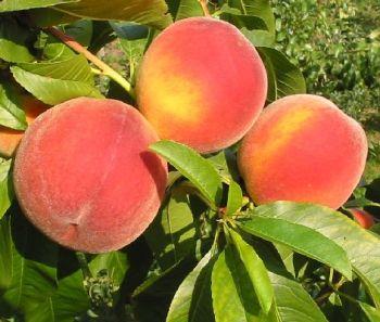 Breskva--Prunus persica W112
