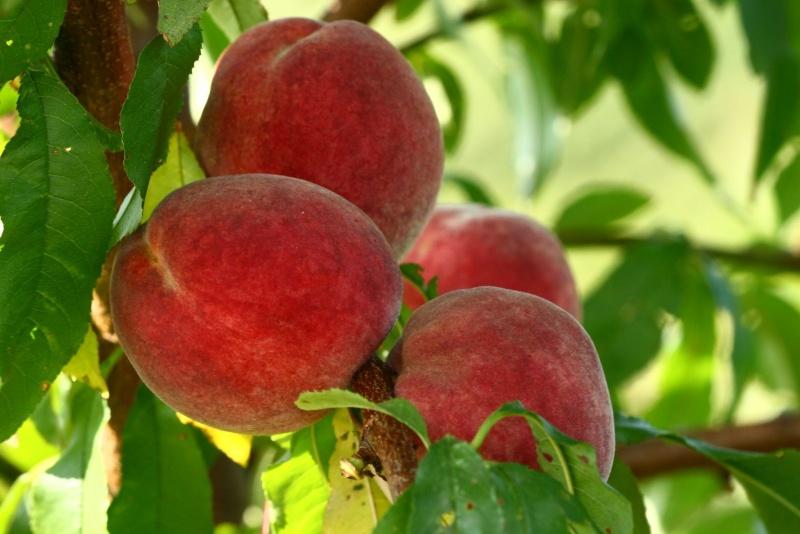 Breskva--Prunus persica W211