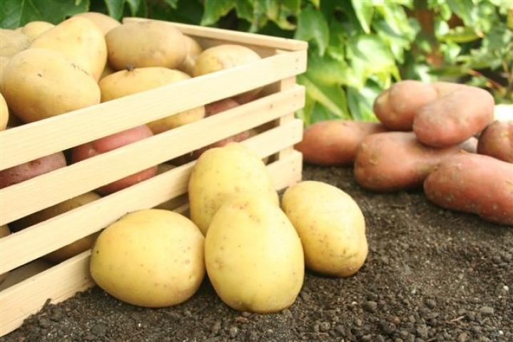 Krompir--Solanum tuberosum X113
