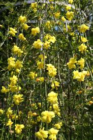 Zimski jasmin--Jasminum nudiflorum X211