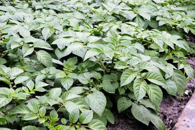 Krompir--Solanum tuberosum X213
