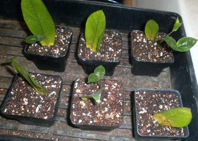 Zamija--Zamioculcas zamiifolia Zamija11
