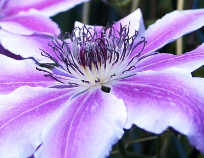 Hahnenfußgewächse (Ranunculaceae) - Winterlinge, Adonisröschen, Trollblumen, Anemonen, Clematis, uvm. - Seite 4 00319