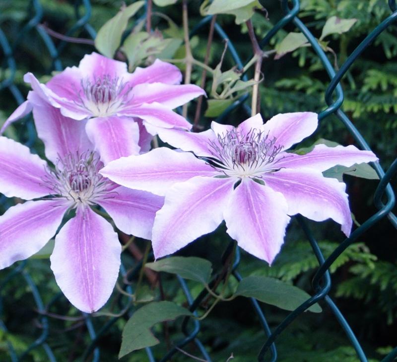 Hahnenfußgewächse (Ranunculaceae) - Winterlinge, Adonisröschen, Trollblumen, Anemonen, Clematis, uvm. - Seite 4 00422