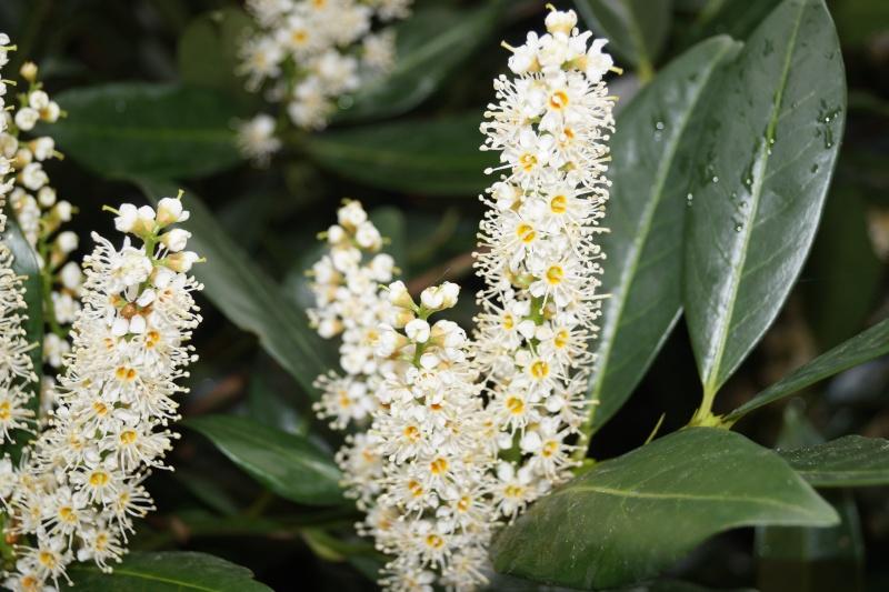 Die Gattung Prunus - hier gibt es Eßbares (Kirschen), Giftiges (Lorbeerkirsche), roh Ungenießbares (Schlehe) u.v.m. 00515