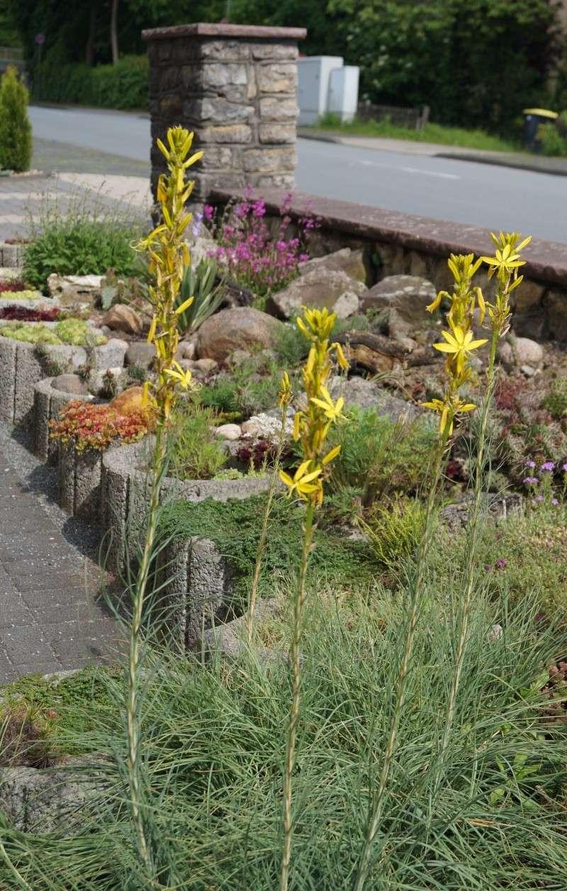 Hang- und Steingartenpflanzen - Seite 5 00720