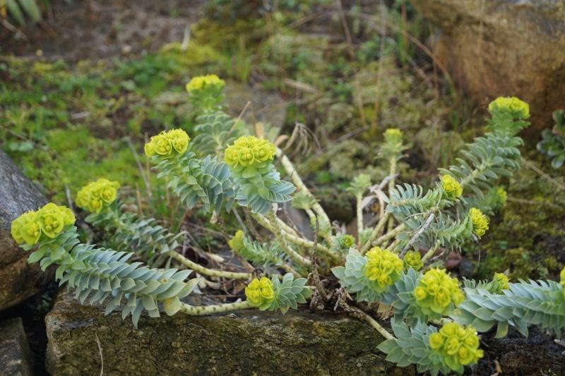 Hang- und Steingartenpflanzen Euphor10