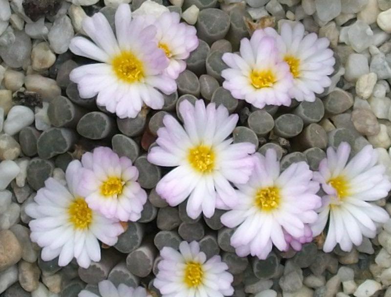 Frithia humilis Frithi10