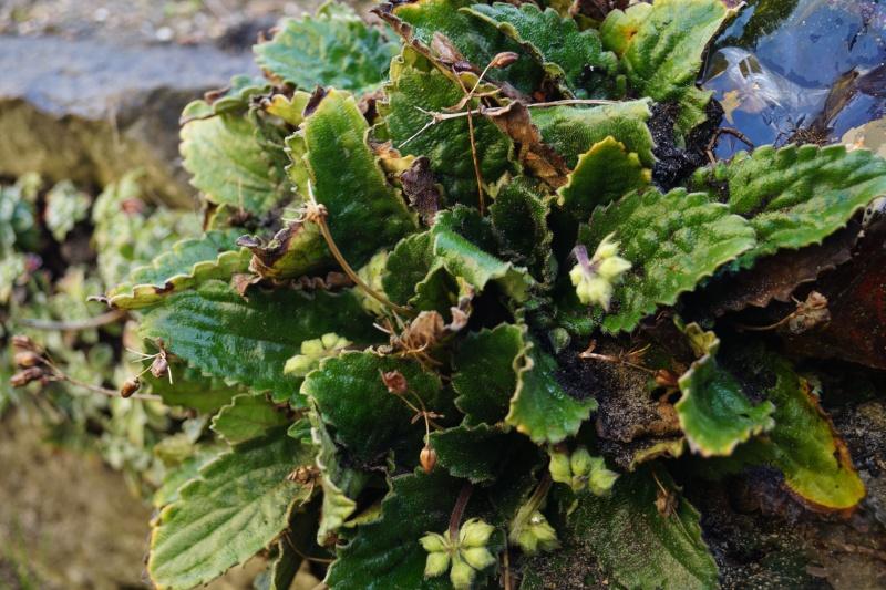 Hang- und Steingartenpflanzen Haberl10