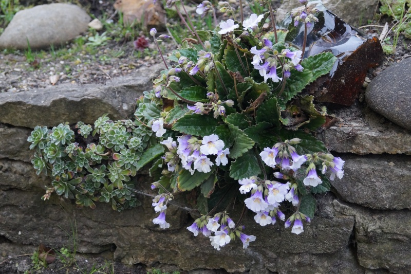 Hang- und Steingartenpflanzen - Seite 3 Haberl11