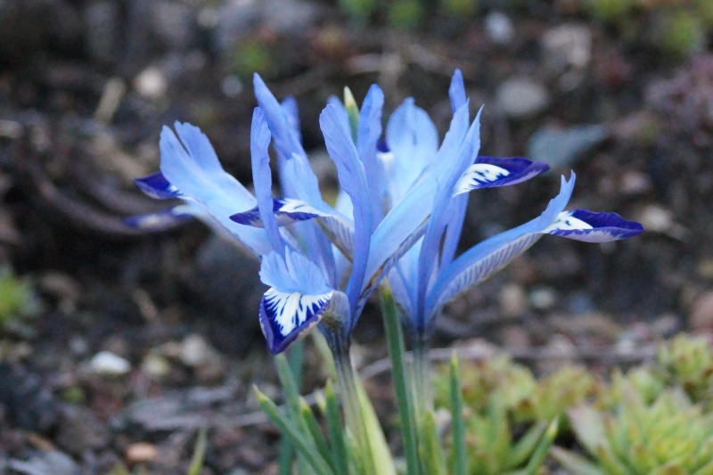 Hang- und Steingartenpflanzen Iris_r10