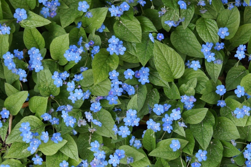 Hang- und Steingartenpflanzen Omphal10