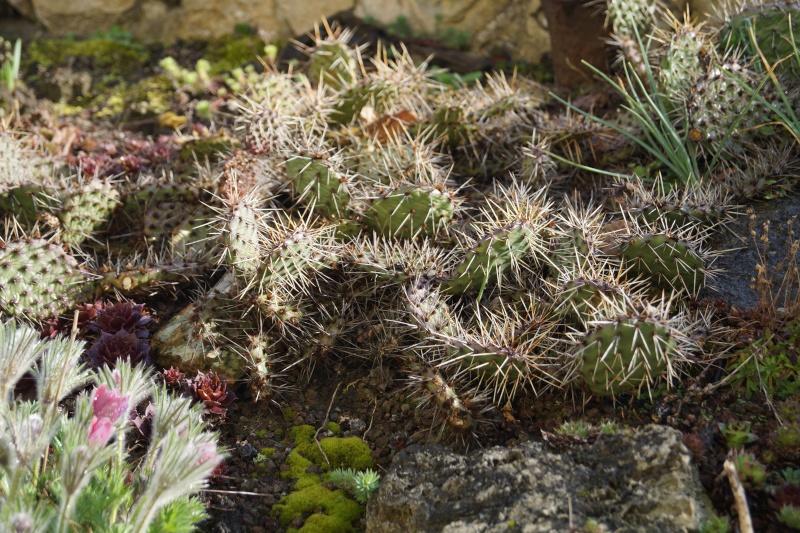 Hang- und Steingartenpflanzen Opunti11
