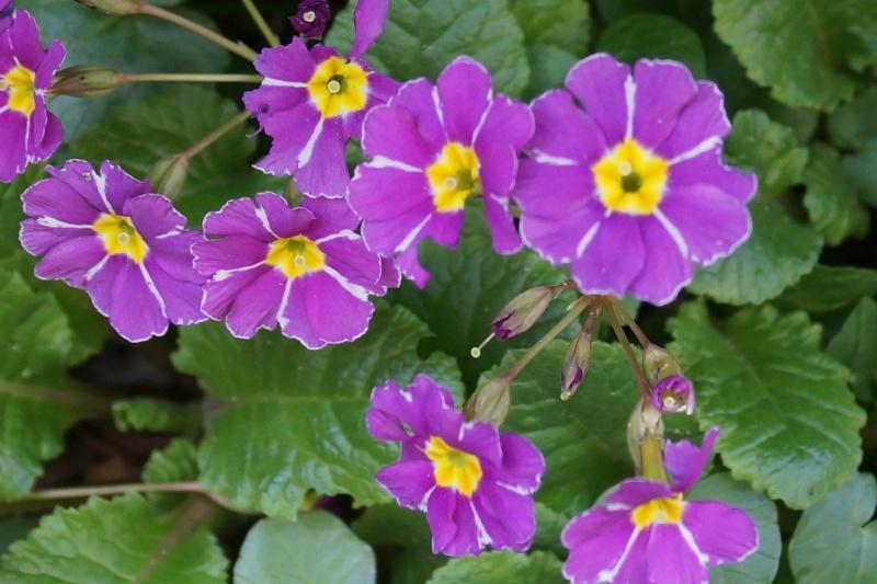 Hang- und Steingartenpflanzen Primul10