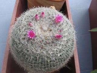 amateurs de cactus et plantes ?  - Page 5 014_6010