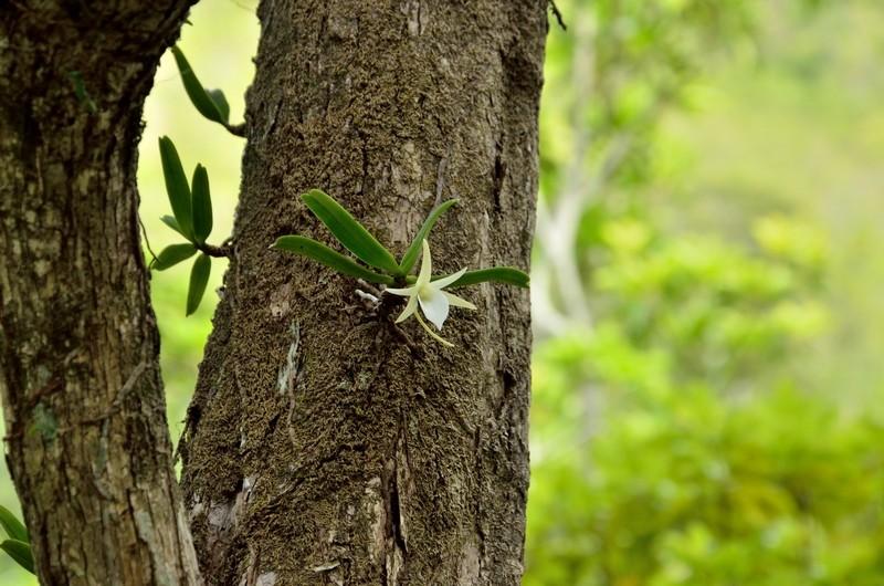 Floraison d'A. liliodorum? - Page 2 Ang_li11