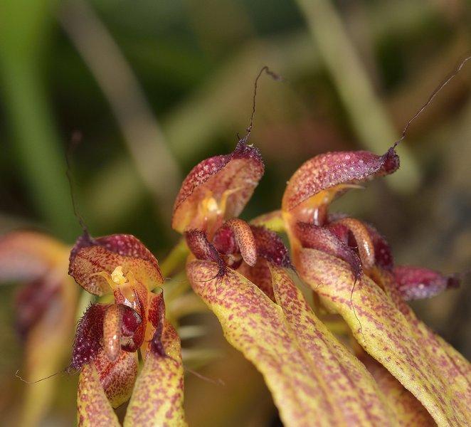 bulbophyllum longiflorum Bulbo_17
