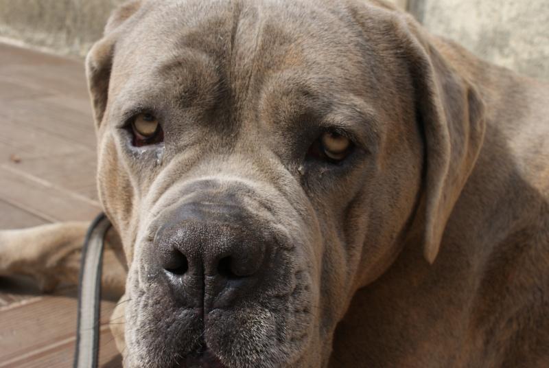 Céleste, notre femelle cane corso (nouvelle photo) 001610