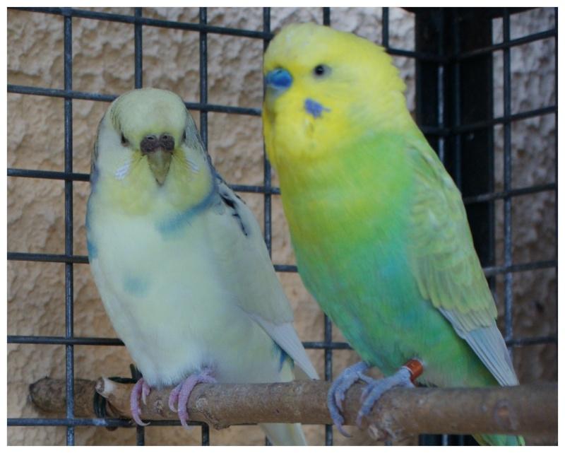 Mes perruches ondulées Couple11