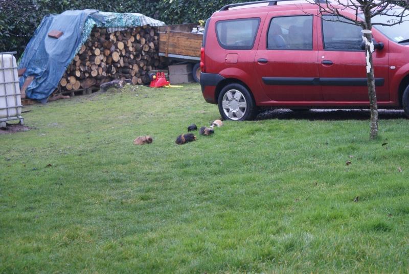 Notre famille cochon d'inde, nouvelles photos 03/02 Dsc05919